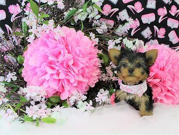 Female Toy Yorkie Puppy # 584