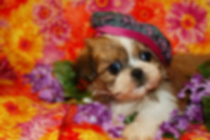 NEW Shih Tzu Maltese-FEMALE 009.jpg