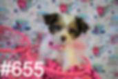 655 Yorkie Poo (4)_edited.jpg