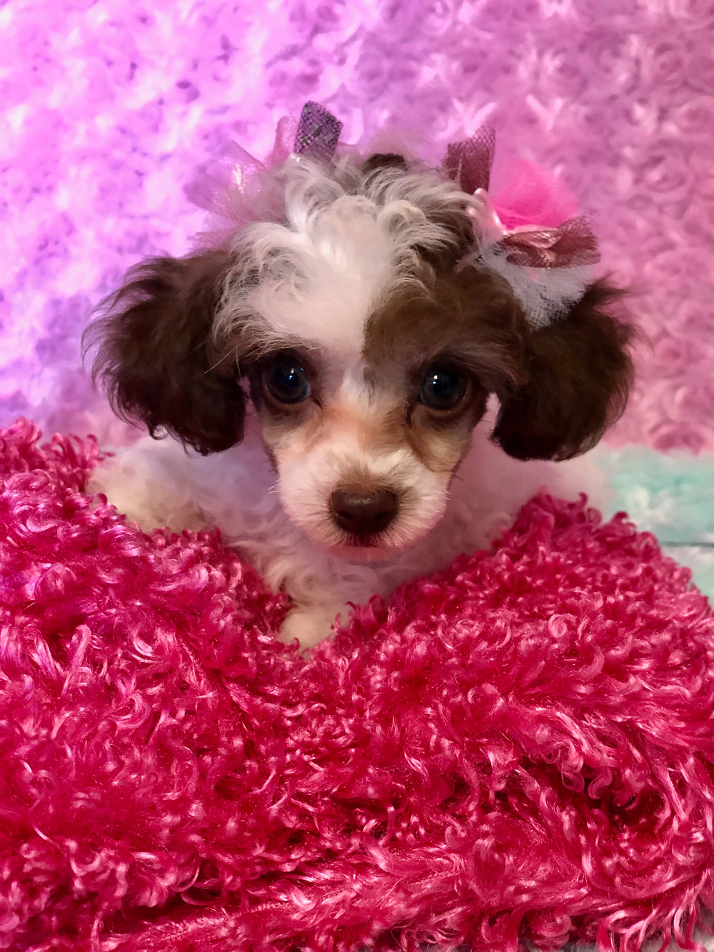 Teacup Poodle - Chocolate & White Parti Color