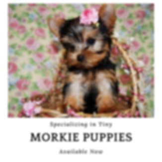 orkie Puppies for Sale