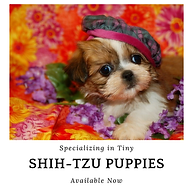 Teacup ShihTzu Puppies For Sale Texas