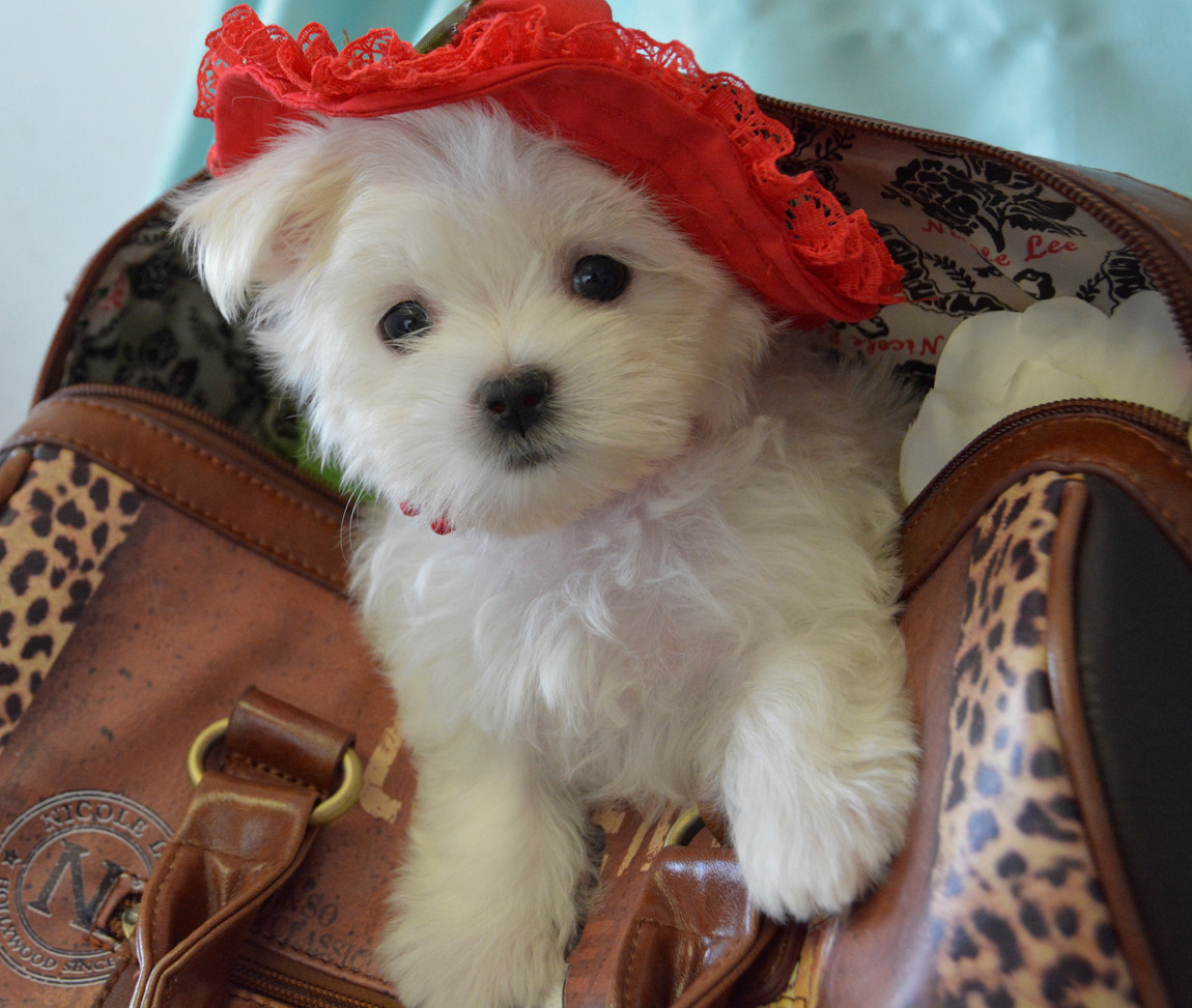 619 Maltese Puppy Female (16).jpg
