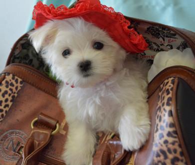 619 Maltese Puppy Female (16).jpg