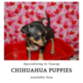 Chihuahua Puppies fo Sale