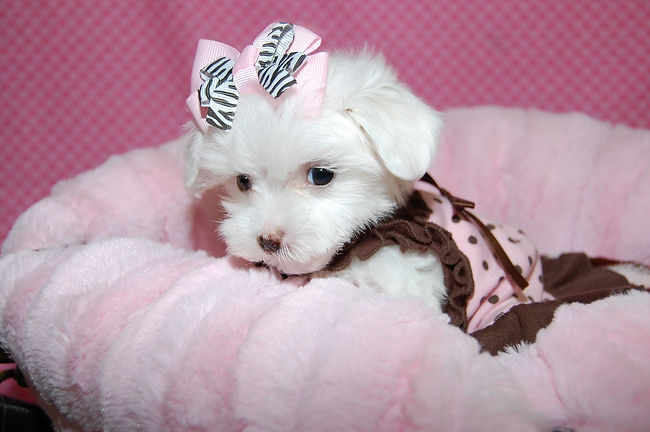 Teacup Female Maltese SML.jpg
