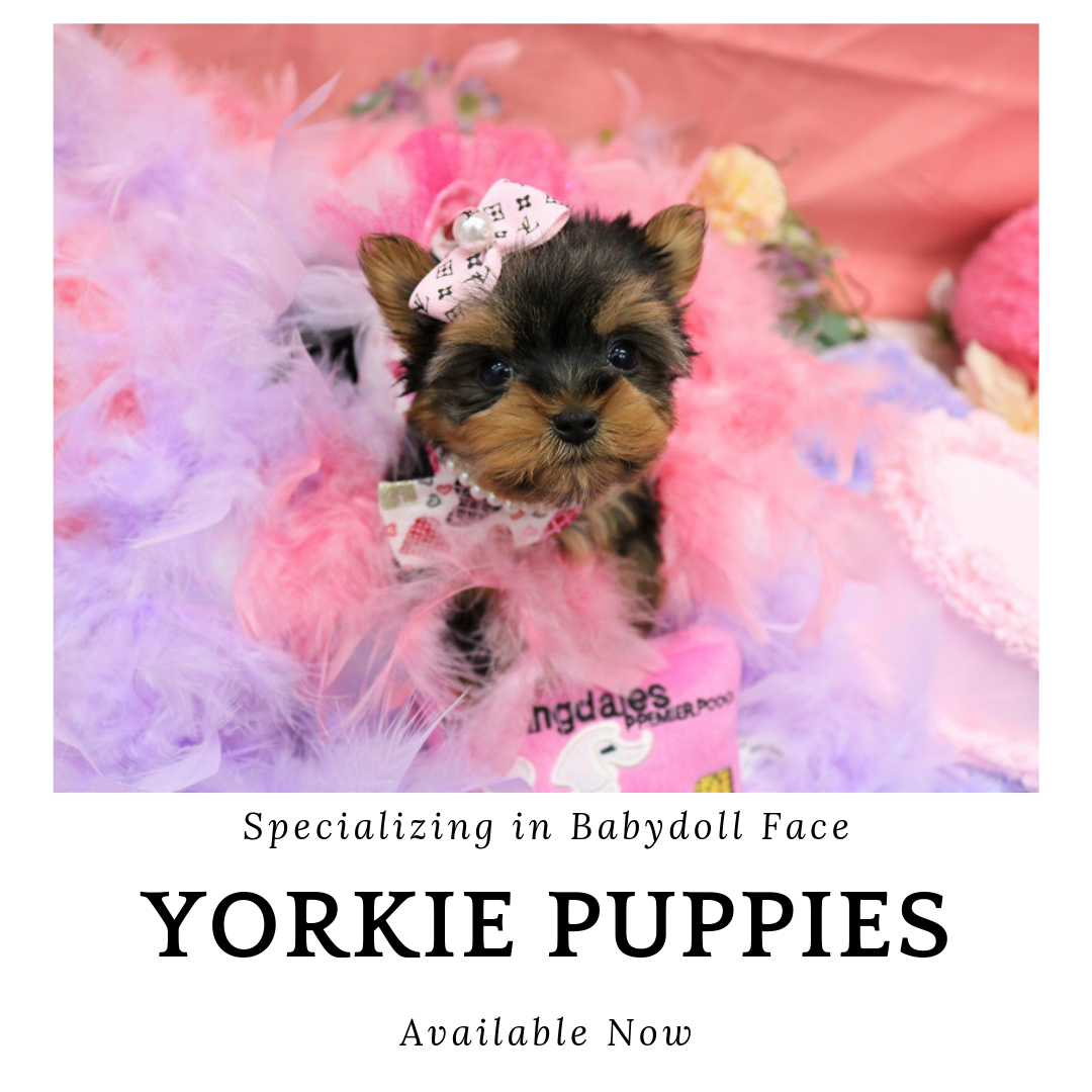 Baby Doll Teacup Yorkie Puppy For Sale Near Me