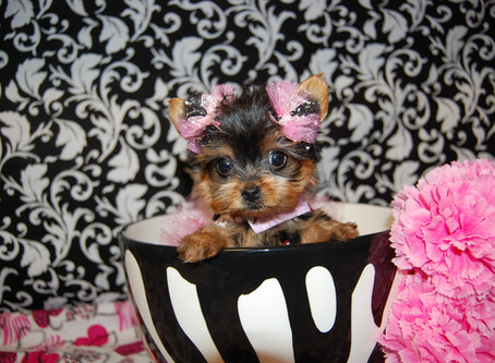 Buying a Cheap Teacup Puppy