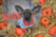 640 Chihuahua (6)_edited.jpg