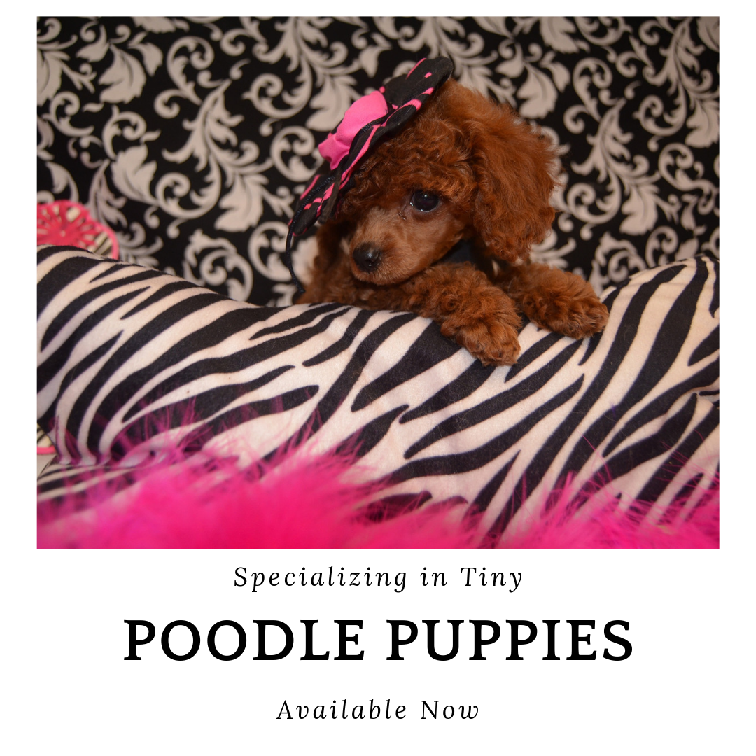 Teacup Toy Poodle Puppies For Sale Licensed Dog Breeder Texas