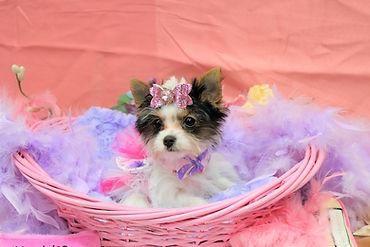 Biewer Yorkie Puppy # 546