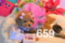 659 MaltiPoo (1)_edited.jpg