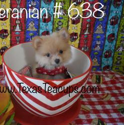 Tiny Pomeranian 638.jpg
