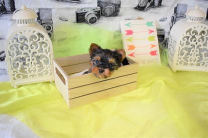 yorkie puppy 579.3.JPG