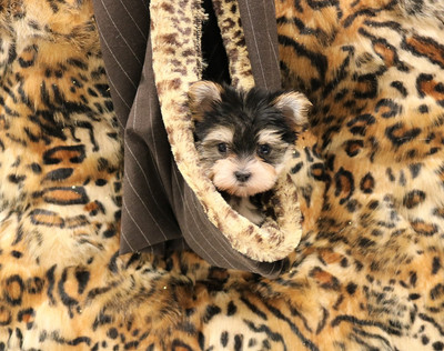 Teacup And Toy Pets Boutique | Texas Teacups | Lic Dog