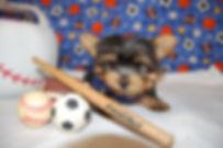 Tiny Yorkie 2667 (13)-X3.jpg