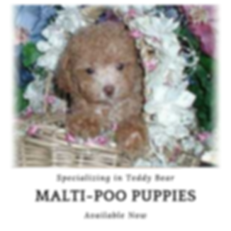 Malti-Poo Puppies for Sale