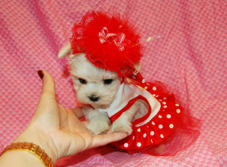 6 True Teacup Dog Breeds to Consider when Buying a Teacup Puppy
