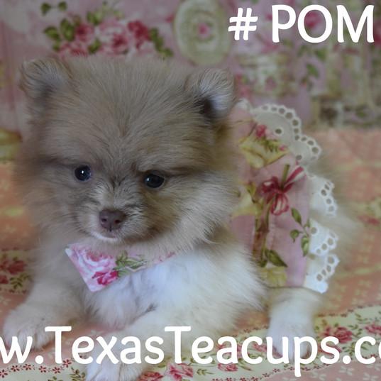 635 Pomeranian Puppy For Sale 3_edited.j