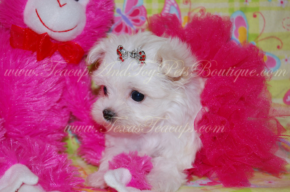 Tiny Teacup Baby Face Maltese
