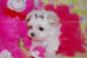 Tiny Teacup Maltese Baby Face.jpg