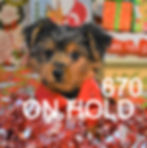 670 male Yorkie (11)_edited_edited.jpg