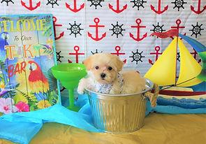 Malti-Poo Puppy #601