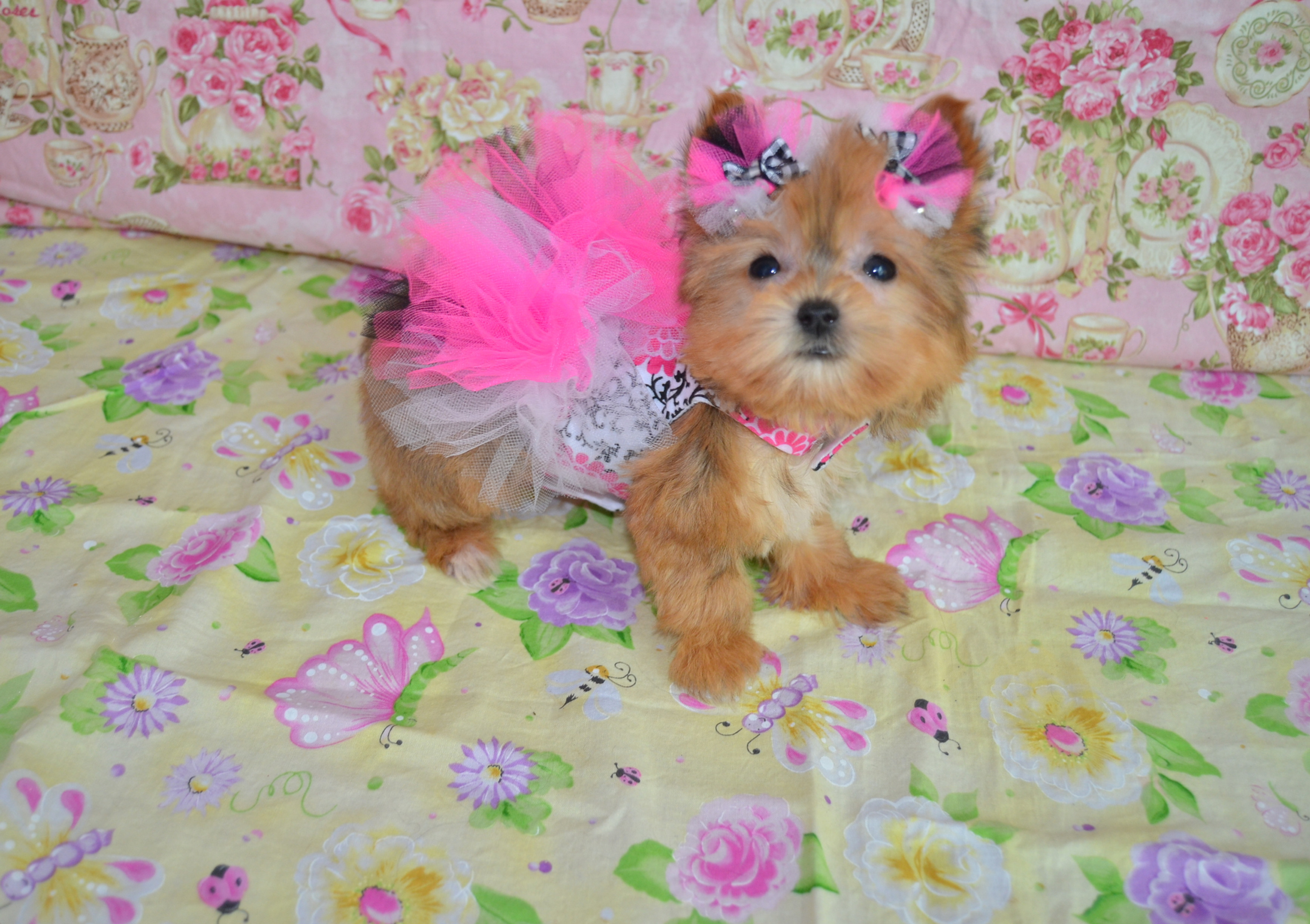 Teacup Toy Morkie Puppies For Sale Licensed Dog Breeder Texas