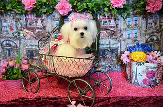 Adult Female Tiny Teacup Maltese # 137