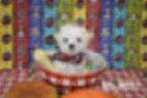 651 Maltese pup (18)_edited.jpg