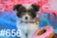 656 YorkiePoo (17)_edited.jpg