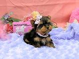Teacup Yorkie Female Puppy