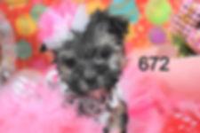 672 Morkie (7)_edited.jpg