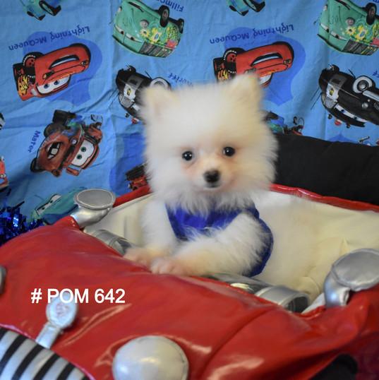 White Pomeranian Puppy 642 pom