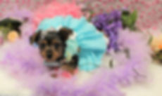 Female Yorkie Puppy # 586