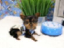 Yorkie Puppy # 536