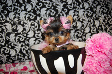 Puppies For Sale | Teacup And Toy Pets Boutique |Pet Supplies| Breeder