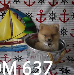 637 Teddy Bear Pomeranian_edited.jpg