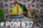 637 Teddy Bear Pomeranian_edited.jpg