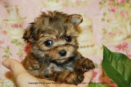 Puppy # Morkie 2031 Pic (2)-X3-1.jpg