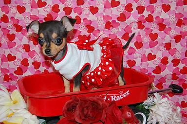 2496 Chihuahua 077.jpg