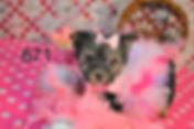 671 morkie (6)_edited.jpg