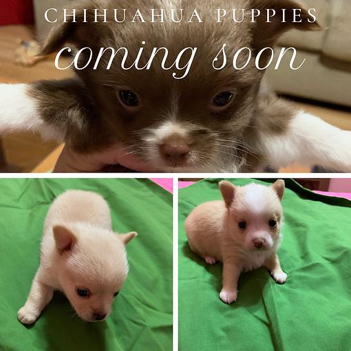 CHIHUAHUA PUPPIES.png