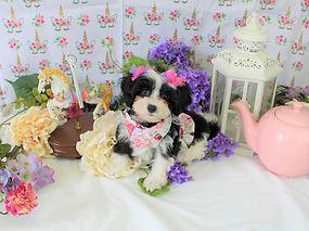 Malti-Poo Puppy #609