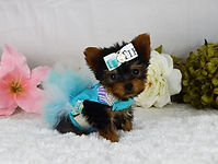 Micro Tiny Teacup Yorkie puppies for sal