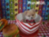 638 Pomeranian puppy_edited_edited.jpg