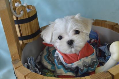 623 Maltese Boy Puppy (11).jpg