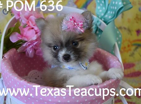 636 Tiny Pomeranian Puppy For Sale Dalla