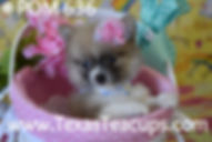 636 Tiny Pomeranian Puppy For Sale Dalla