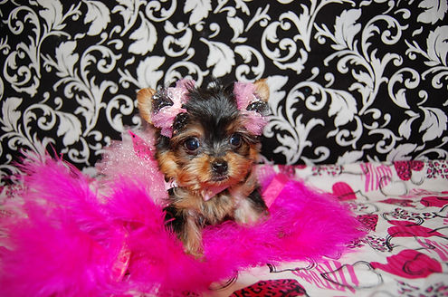 Micro Tiny Teacup Yorkie.jpg